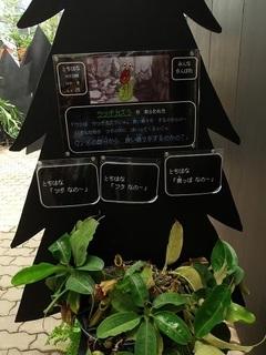 010 17.08.03 027 ウツボカヅラ.jpg