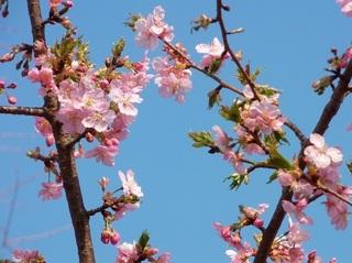018 18.03.15 044 駐車場の桜.jpg