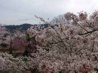 019 17.04.20 信州日帰り旅 066 懐古園の桜.jpg