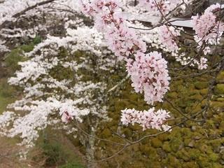 022 17.04.20 信州日帰り旅 074 石垣と桜.jpg