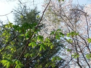 024 18.03.29 051 茨城県自然博物館・新緑と桜.jpg
