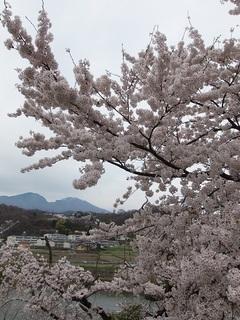 026 17.04.20 信州日帰り旅 088 浅間山・千曲川・桜.jpg