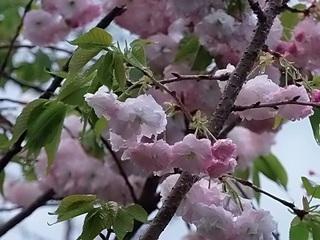 16.04.19 013 八重桜.jpg