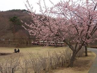 002 17.03.31 043 桜とフラワートレイン.jpg