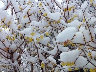 003 18.01.22 005 雪を被ったロウバイ.jpg
