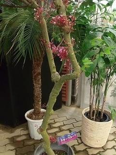 004 17.10.09 007 東南アジアの植物展・スターフルーツ.jpg