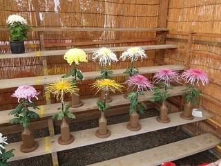 006 17.11.02 017 一言主神社、菊.jpg