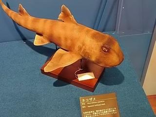 009 17.10.13 020 サメ展・ネコザメ.jpg
