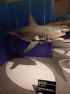 010 17.10.13 021 サメ展・ネズミザメ.jpg