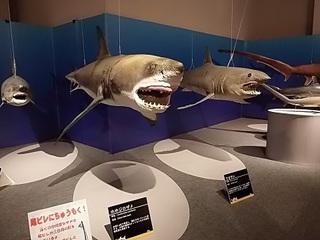 013 17.10.13 022 サメ展・ホホジロザメ.jpg