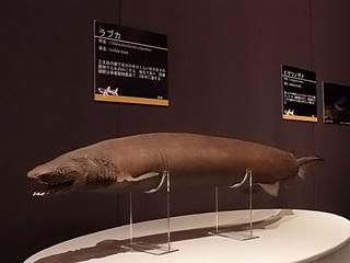 016 17.10.13 031 サメ展・ラブカ.jpg