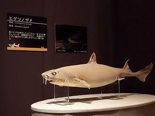 017 17.10.13 032 サメ展・ヒゲツノザメ.jpg