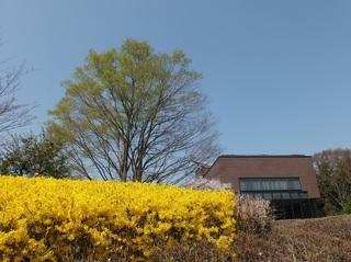018 18.03.29 035 茨城県自然博物館・レンギョウ.jpg