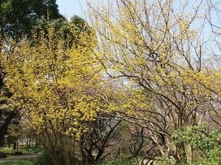023 18.03.29 047 茨城県自然博物館・サンシュユ.jpg