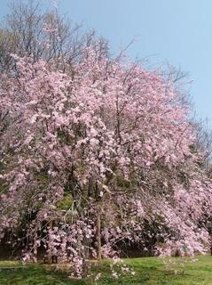 025 18.03.29 052 茨城県自然博物館・ベニシダレザクラ.jpg