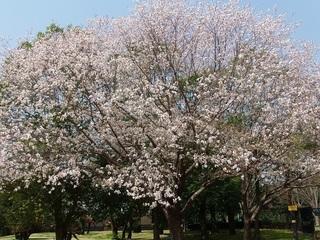 027 18.03.29 055 茨城県自然博物館・山桜.jpg